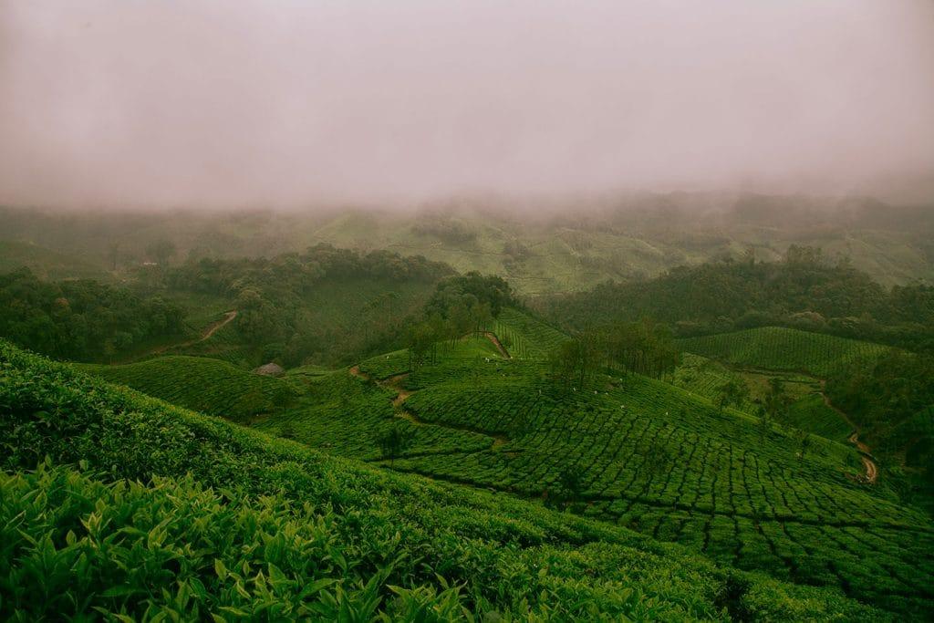 Champs de thé dans la brume