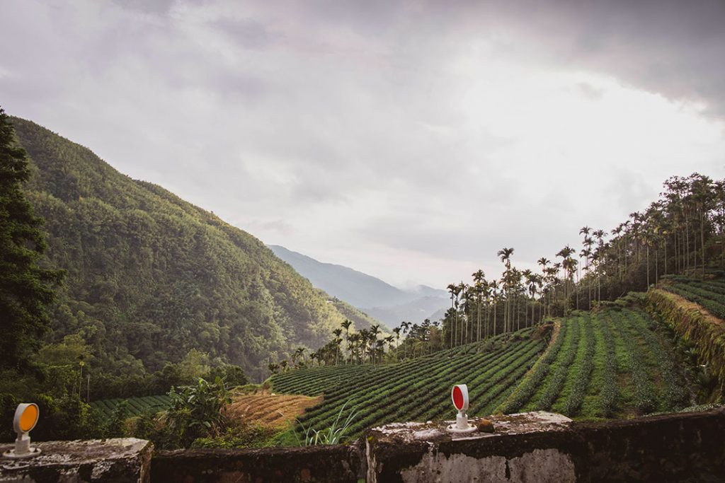 Champs de thé oolong à Taïwan