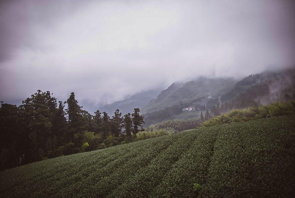 Champs de thé à Taïwan - Tea Project