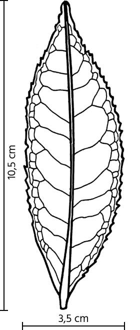 Feuille du cultivar Hong Yu