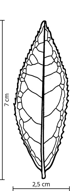 Feuille du cultivar Jin Xuan