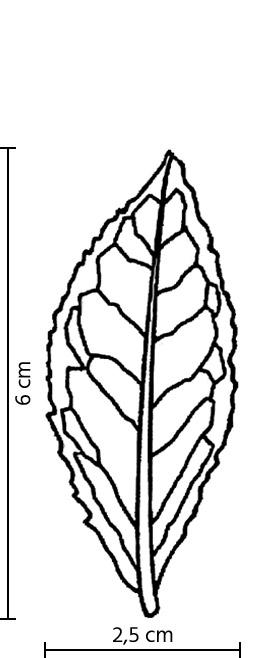 Feuille du cultivar Si Ji Chun